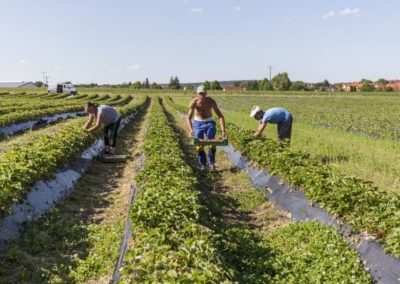 Erdbeeranbau