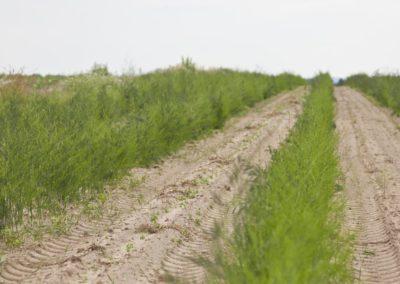 Der Spargelanbau und die Ernte